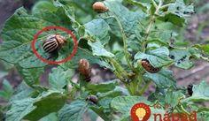 Pochutnáva si na vašich zemiakoch? Záhradkárka radí pridať do záhonov túto vec, pásavka tú vôňu nemôže vystáť!