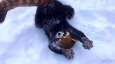 May we all learn a thing or two from the red panda. | These Red Pandas Playing In Snow Are The Most Joyful Thing On The Internet