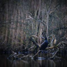 Skarv på udkig... #Assens #visitfyn #VisitDenmark #fyn #natur #nature_perfection #sea #naturelovers #mothernature #nature #loveit #love #denmark #danmark #dänemark #landscape #visitassens #mitassens #vildmedfyn #fynerfin #assensnatur