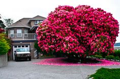 Behold, a 120+ year old rhododendron They rarely grow into anything larger than a shrub, yet alone a tree!
