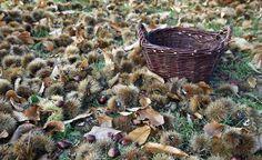 Geröstet oder gekocht sind Esskastanien eine Delikatesse. Wer im Südwesten Deutschlands lebt, sammelt die Kastanien im Wald. Für den Anbau in kleineren Gärten wählt man neuere Züchtungen, die nur eine kleine Krone bilden.