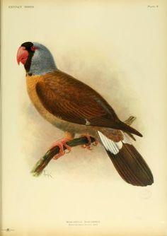 Extinct birds : - Biodiversity Heritage Library