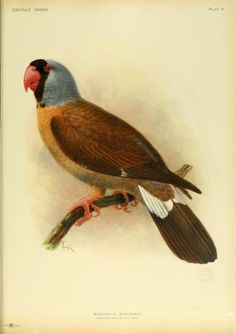 Extinct birds : - Biodiversity Heritage Library