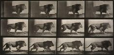 For Sale on - Animal Locomotion: Plate 722 (Lion Walking), by Eadweard Muybridge. Pretty Cats, Pretty Kitty, Lion Walking, Eadweard Muybridge, Gcse Art, Animals Images, Medium Art, Art Photography, Sculptures