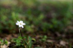 spring star flower - はなにら