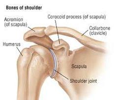 clavicle bones - Google Search