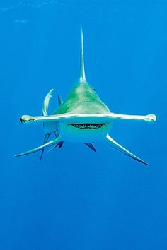 Hammerhead shark - amazing how the eyes are all the way on the sides...