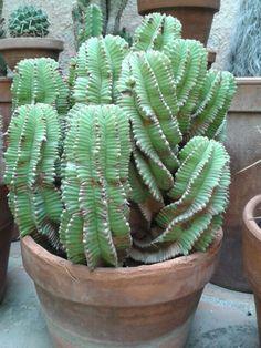 Euphorbia !!!