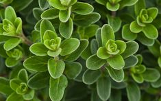how to grow oregano-herb-leaves