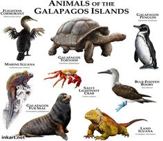 Animals of the Galapagos Islands Art Print by Wildlife Art by Roger Hall - X-Small Animals Of The World, Animals And Pets, Galapagos Penguin, Marine Iguana, Animal Plates, Equador, Art Et Illustration, Art Illustrations, Extinct Animals