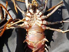 Nueva mirada al mar: Langosta común eropea o mediterránea