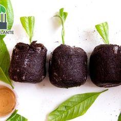 Inmultire magnolie prin butasi Vegetables, Desserts, Plant, Magnolias, Tailgate Desserts, Deserts, Vegetable Recipes, Postres, Dessert
