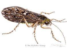 Caddisfly: Green Sedge (Adult)