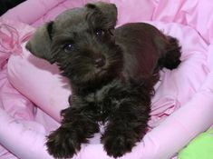 Toy Miniature Schnauzers | Inge Has Gone Home, Liver Female-Sold to Dr.Pacheco, About 10 lbs. as ...