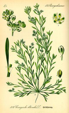 Flora von Deutschland Österreich und der Schweiz (1885) - Corrigiola litoralis