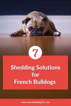 Are you a french bulldog owner and your cute frenchie that has shedding problems? Here are 7 solutions to combat it! French Bulldog Facts, English Bulldog Puppies, Baby Puppies, French Bulldogs, English Bulldogs, Baby Bulldogs, Corgi Puppies, French Bulldog Shedding, First Night With Puppy