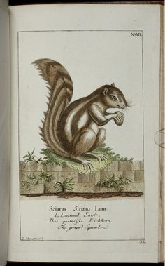Squirrel by Georg Heinrich von Borowski (1746-1801)