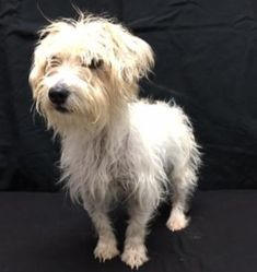 Check out Emma Sdr In Tx Medical Hold's profile on AllPaws.com and help her get adopted! Emma Sdr In Tx Medical Hold is an adorable Dog that needs a new home. https://www.allpaws.com/adopt-a-dog/schnauzer-mix-dachshund/8020624?social_ref=pinterest