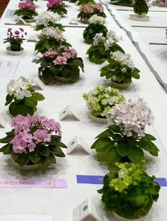 Miniature African Violets | More miniature and semiminiature African violets African Violet, Different Plants, Baby Cakes, Indoor Gardening, Pansies, Houseplants, Trail, Succulents, Miniatures