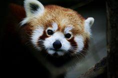 red panda Red Panda, Animals, Animales, Animaux, Red Pandas, Animal, Animais