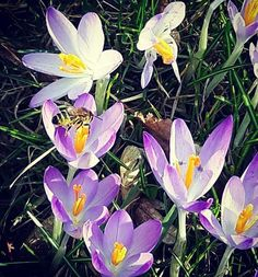 Spring is coming in Germany! How beautiful this world can be with a little sunshine and running around in nature watching the animals and flowers waking up! ♡♥♡ #spring #flowers #bee #flower #crocus #berlin #berlinstagram #igersberlin #sunshine #naturelovers by sharejourneys. nature #backpacking #roadtrip #instatravel #wanderlust #berlinstagram #travellife #travel #flowers #bee #traveller #igersberlin #travelphotography #photooftheday #spring #travelling #trip #travellovers #berlin #dream…