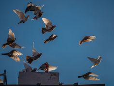 2014-12 Il Volo n.5 Brooklyn New York. #toptravelspot #usa #newyork #brooklyn #fly #bluesky #cobblehill #pigeons #pigeonkeeping #pigeonking #instapassport #instantraveling #instatraveling #instadaily #travelphotography #travel #traveling
