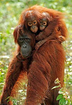 Bornean orangutan mother, Simona, with her adopted and natural babies in Kalimantan, Borneo. #SanDiskStories #orangutan #monkey #animals