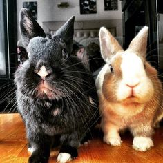 Do you know that ALL bunnies have GREAT personalities?! Tiffo & Chany www.tifforabbit.com