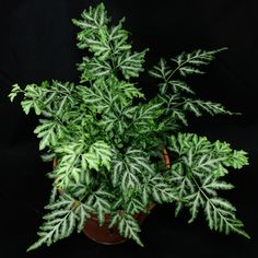 Live Silver Lace Fern aka Silver Pteris Fern Plant Fit 4 Pot - Easy to Grow dhed garden Black Pine Tree, Large Outdoor Planters, Landscaping With Roses, Fern Plant, Tree Seeds, Large Plants, Farm Gardens, Orange Flowers, Lawn And Garden