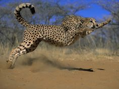 Cheetah wins fastest land mammal title in the world, it can burst from 0 to 103 km per hour in mere 4 seconds and it can speed it up until 120 km per hour. Withal, cheetah is unable to keep their high speed more than 30 seconds.
