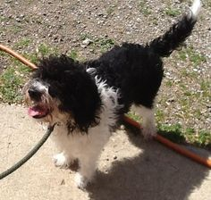 Meet Marazzi, a Petfinder adoptable Poodle Dog | Urbana, OH | Petfinder.com is the world's largest database of adoptable pets and pet care information....