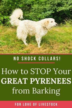 You don't need shock collars or other cruel methods to prevent your Great Pyrenees from barking. Follow these step-by-step positive training techniques, and your pet Pyr will be happy to stop barking! #greatpyr #greatpyrenees #dogtraining #barking #positivetraining #dogs Pet Dogs, Dogs And Puppies, Pets, Great Pyrenees Dog, Farm Dogs, Tibetan Mastiff, Anatolian Shepherd, Shock Collar, Large Dog Breeds
