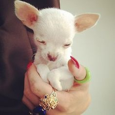 Chihuahua pup with outfit by Rochas and jewellery by Solange Azagury-Partridge. April 201 pup with outfit by Rochas and jewellery by Solange Azagury-Partridge. Teacup Chihuahua Puppies, Chihuahua Love, Cute Puppies, Cute Dogs, Dogs And Puppies, Doggies, Chihuahua Rescue, White Chihuahua, Teacup Pomeranian