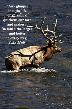 """Any glimpse into the life of an animal quickens our own and makes it so much the larger and better in every way."" -- John Muir – JF McGinn image of elk in Yellowstone at Madison River during the exciting autumn elk rut -- Learn where and when to travel f Nature Quotes, Life Quotes, Great Quotes, Inspirational Quotes, John Muir Quotes, Viewing Wildlife, Wanderlust, The Life, The Great Outdoors"