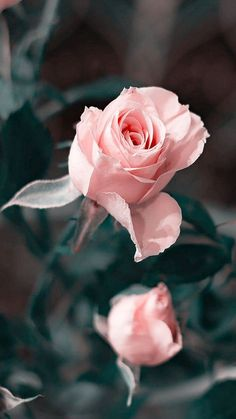 Stop and smell the roses.🌹💕 Stay balanced Stay aligned Stay whole My Flower, Pretty Flowers, Flower Wallpaper, Iphone Wallpaper, Rosa Rose, Cactus Y Suculentas, Beautiful Roses, Pink Roses, Planting Flowers