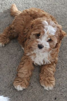 Our beautiful cavoodle Tilly Super Cute Puppies, Baby Animals Super Cute, Cute Baby Dogs, Cute Little Puppies, Cute Dogs And Puppies, Cute Little Animals, Cute Funny Animals, Doggies, Fluffy Animals