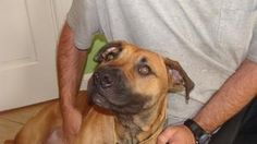 I'm Maggie!!I am a Boxer mix, spayed, up to date on shots, micro-chipped and on heart worm prevention. I was found wandering down a busy road. Some kind people saved me. Now I'm hunting for a home with a fenced in yard to keep me safe. I do need help with my manners. An active family would be best for me. Please call 252-446-1669 and leave me a message,  and I will make sure your call is returned, or you can e-mail me at  edgecombenashhumanesociety@yahoo.com  Hopefully yours, Maggie