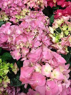 http://fineartamerica.com/featured/pink-hydrangeas-elisabeth-ann.html