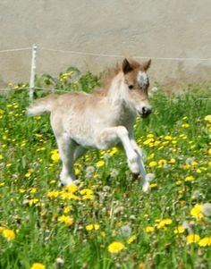 American Miniature Horse Hengst Fohlen 80 cm Dunkelfuchs