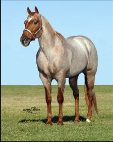 Lena Red Pep  A truly versatile Working Horse Stallion. Currently most winning Performing Stallion in the Performance Horse Horse World