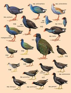 Family RALLIDAE (RAILS, GALLINULES AND COOTS)  110. Purple Swamphen (Porphyrio porphyrio)  111. Takahe (Porphyrio mantelli)  112. Allen's Gallinule (Porphyrio alleni)  113. American Purple Gallinule (Porphyrio martinica)  114. Azure Gallinule (Porphyrio flavirostris)  115. San Cristobal Moorhen (Gallinula silvestris)  116. Tristan Moorhen (Gallinula nesiotis)  117. Common Moorhen (Gallinula chloropus)