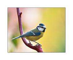 Meise Bird 2
