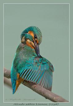 Pulizie.... by fioregiallo  Il Martin pescatore comune o Martin pescatore europeo (Alcedo atthis Linneo, 1758) è un uccello coraciforme della famiglia degli alcedinidi, nell'ambito dei quali rappresenta sicuramente la specie più diffusa, nonché l'unica presente anche in Europa, è un uccello di piccole dimensioni, lungo fra i 17 ed i 25 cm, con un'apertura alare che raggiunge i 26 cm ed un peso che va dai 26 ai 46 g. si nutre principalmente di piccoli pesci, sia adulti che avannotti.