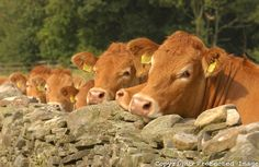 Limousin heifers looking over a stone wall