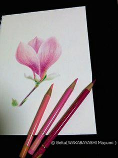 2014_02_24_magnolia_01_s for this drawing I used: Faber castell polychromos Stonehenge paper  © Belta(WAKABAYASHI Mayumi )
