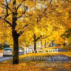 Today's #WordWednesday is flavescent! Are the leaves flavescent near you?⠀