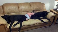 Great Dane Pillows