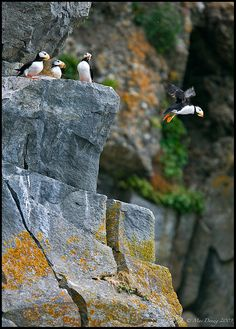 Jumping off of the rock rookeries in the bay outside of Homer, Alaska...<3