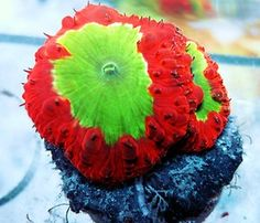 Live Coral ~ DREEF JOLLY RANCHER BLASTO BLASTOMUSSA CHALICE WYSIWYG 2 HEAD FRAG