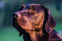Majou Labrador Retriever, Dogs, Animals, Labrador Retrievers, Animales, Animaux, Animal Memes, Animal, Pet Dogs